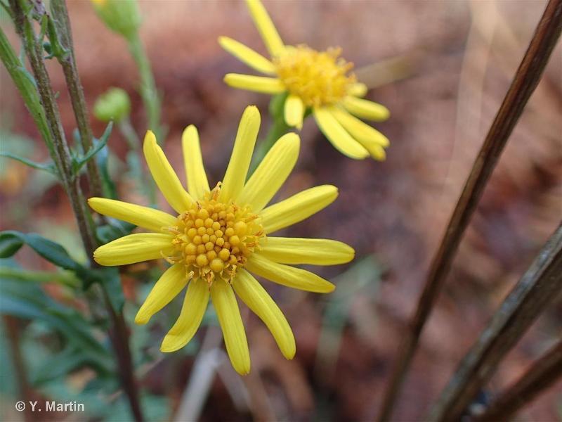 Jacobaea vulgaris subsp. vulgaris