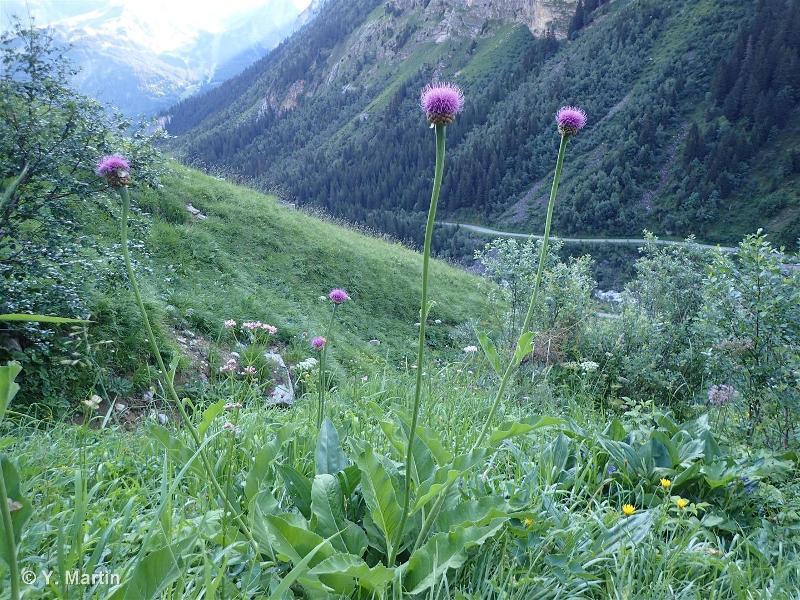 Rhaponticum heleniifolium subsp. heleniifolium