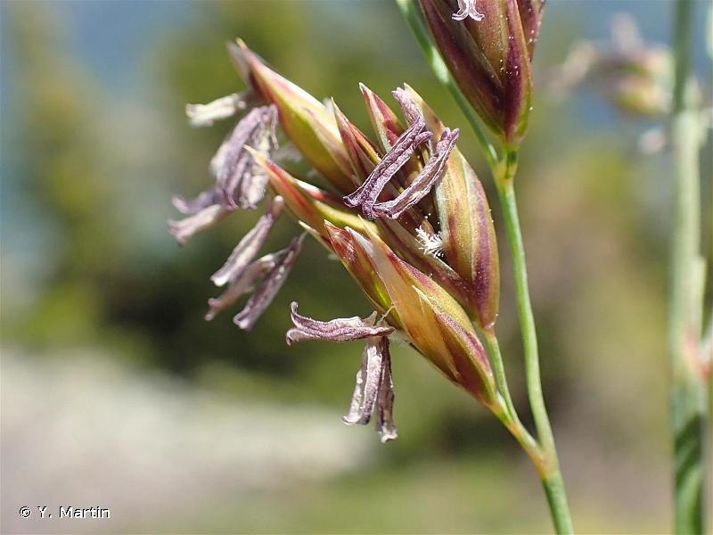 Patzkea paniculata
