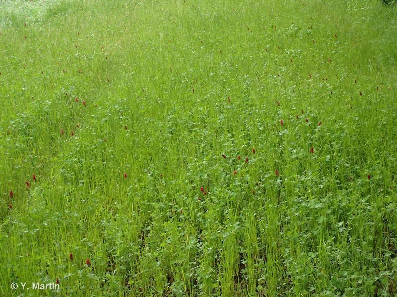 81 - Prairies améliorées - CORINE biotopes