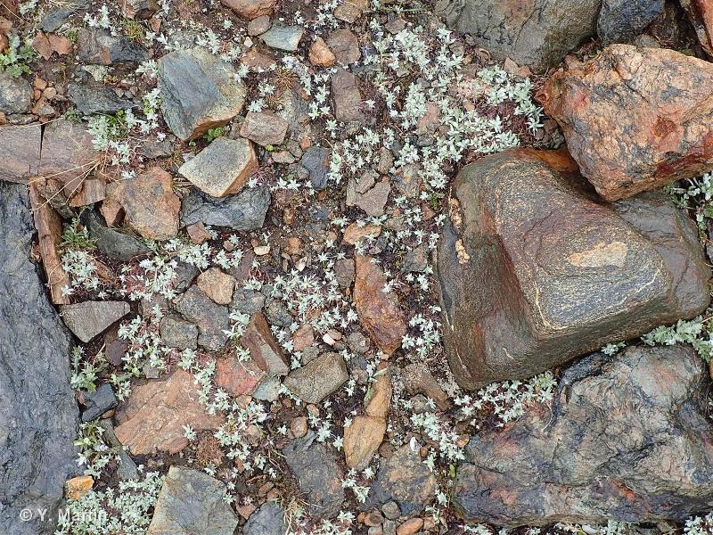 36.1113 - Communautés acidiphiles de combes à neige alpines à Carex-Gnaphalium - CORINE biotopes