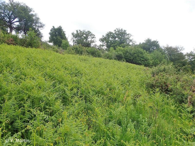 31.861 - Landes subatlantiques à Fougères - CORINE biotopes