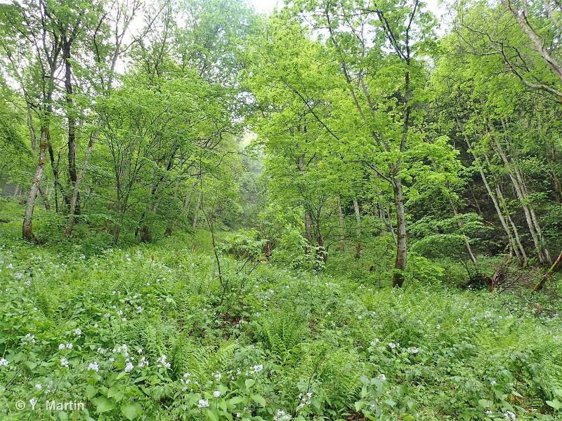 9180 - Forêts de pentes, éboulis ou ravins du <em>Tilio-Acerion</em> - Habitats d'intérêt communautaire
