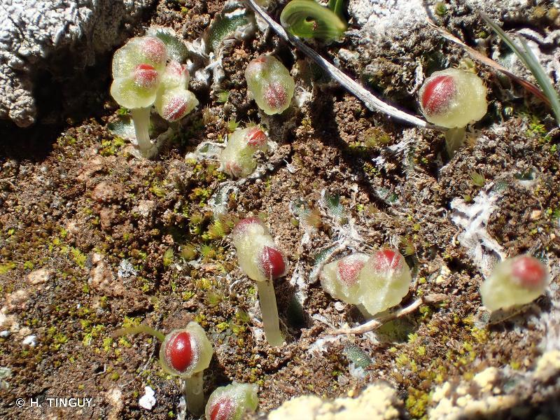 Clevea hyalina