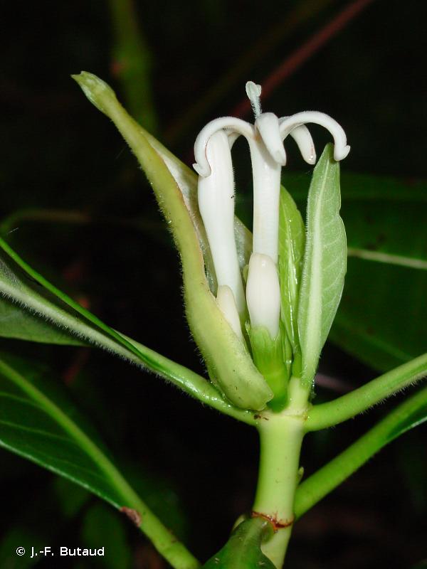 Psychotria speciosa