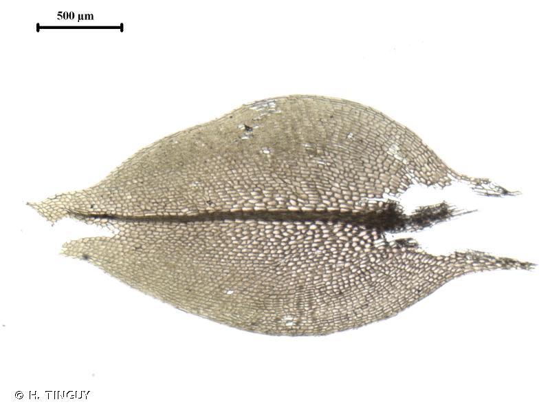 Ptychostomum weigelii