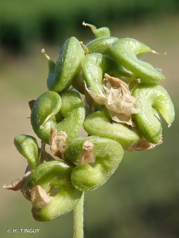 Medicago sativa subsp. falcata