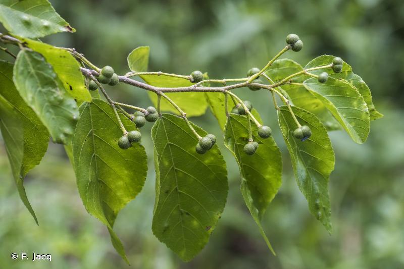 Grewia persicifolia