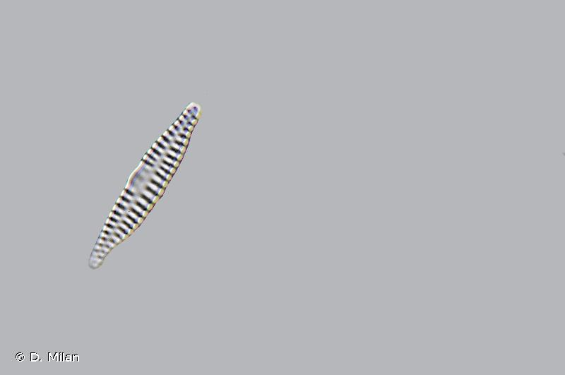 Fragilaria capucina var. vaucheriae