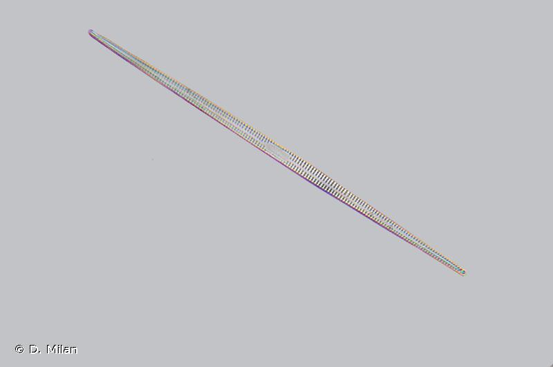 Synedra ulna