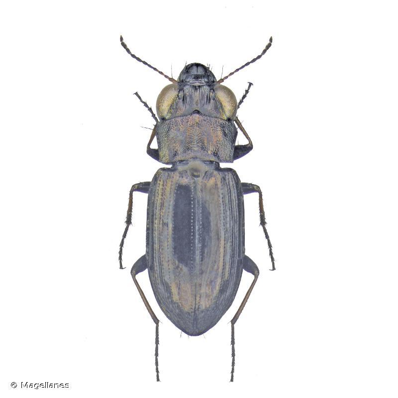 Notiophilus geminatus