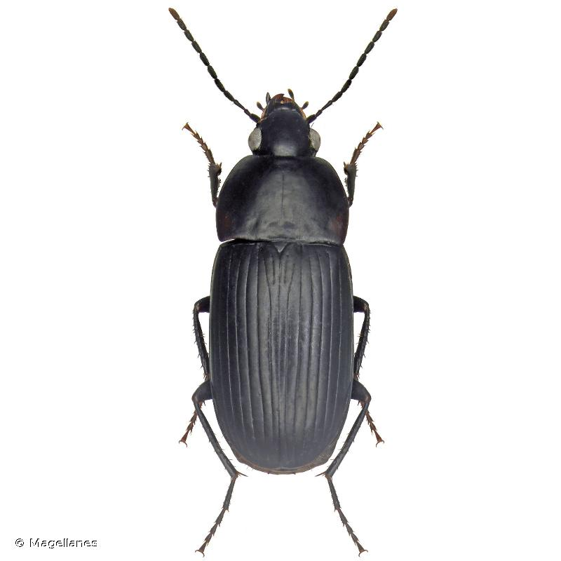 Oodes gracilis