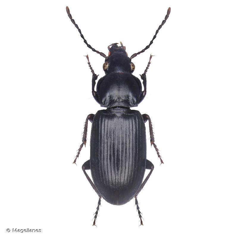 Pterostichus oenotrius