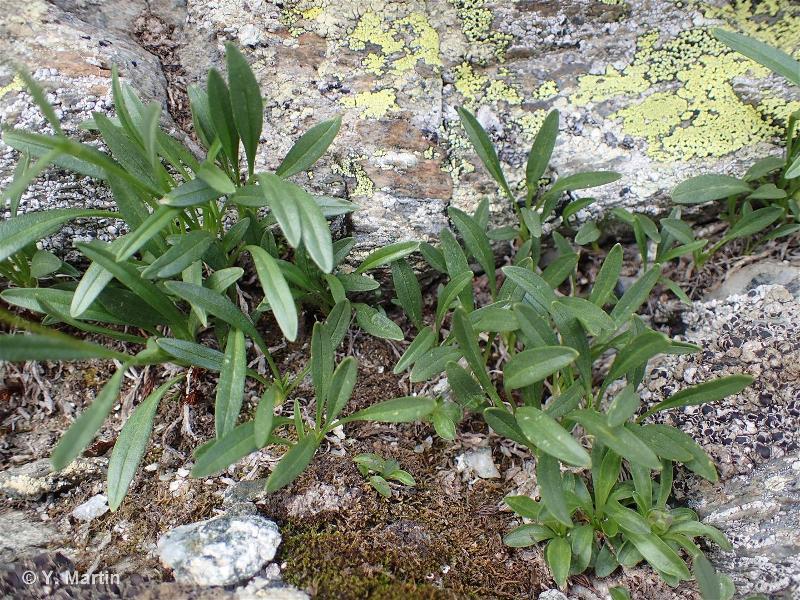 Valeriana celtica