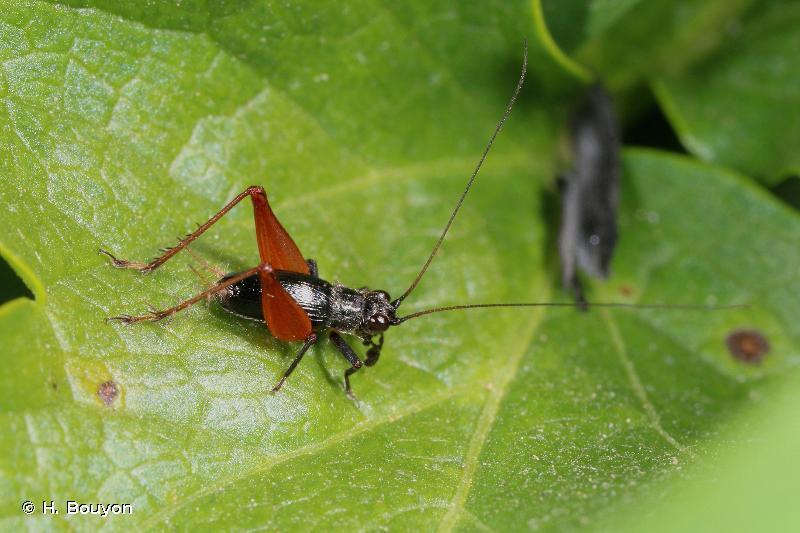 Trigonidium cicindeloides