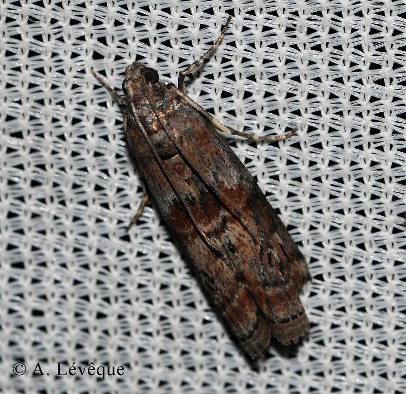 Phycita roborella