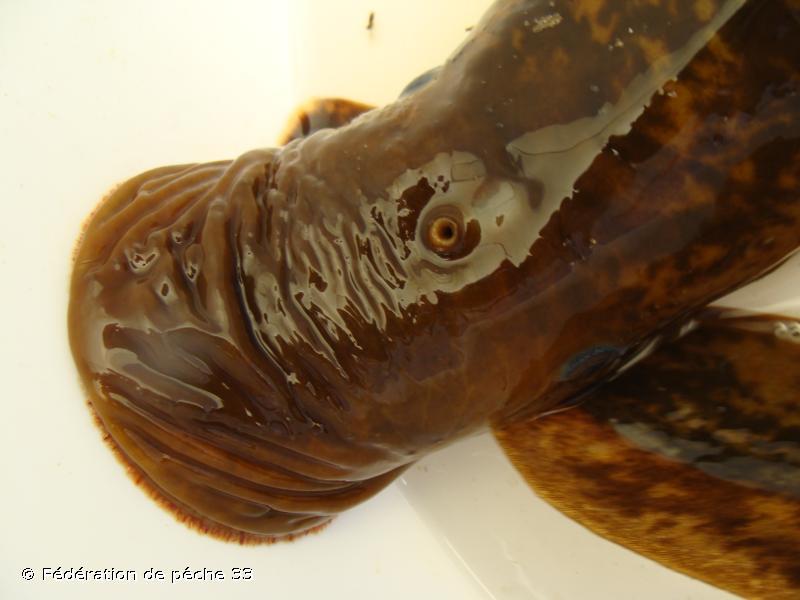 Petromyzon marinus