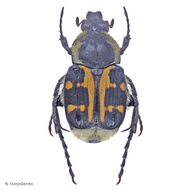 Trichius gallicus