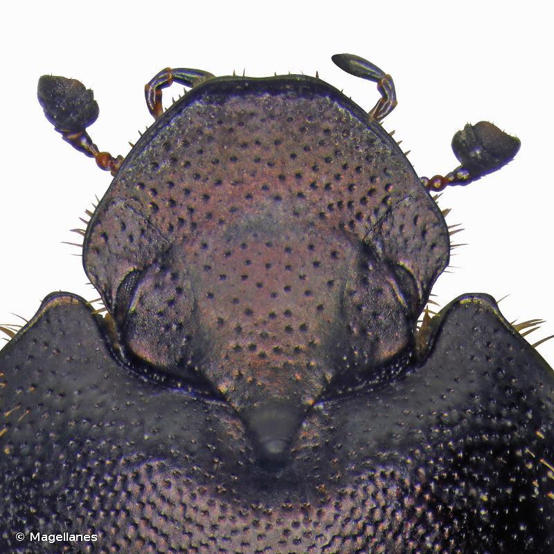 Onthophagus similis