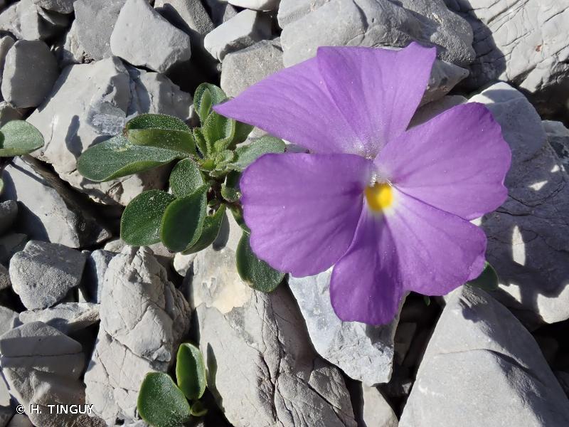 Viola cenisia