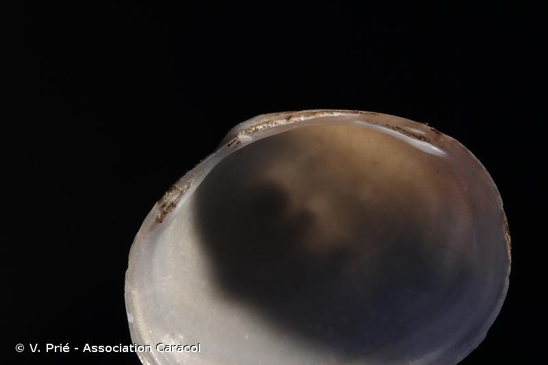 Sphaerium rivicola