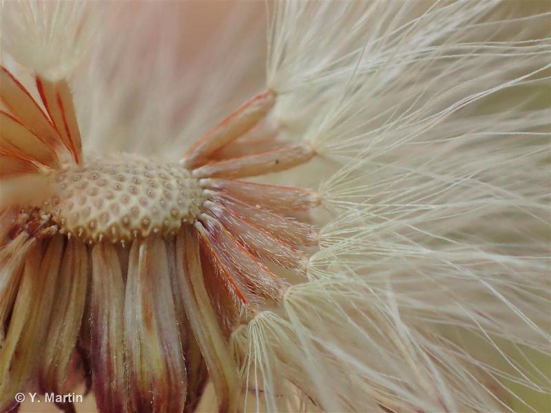 Erigeron acris subsp. acris