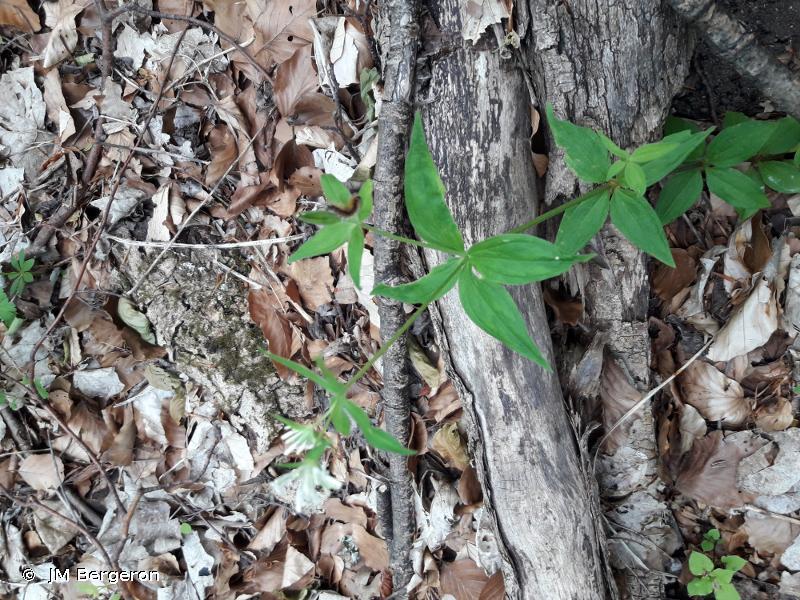 Asperula taurina
