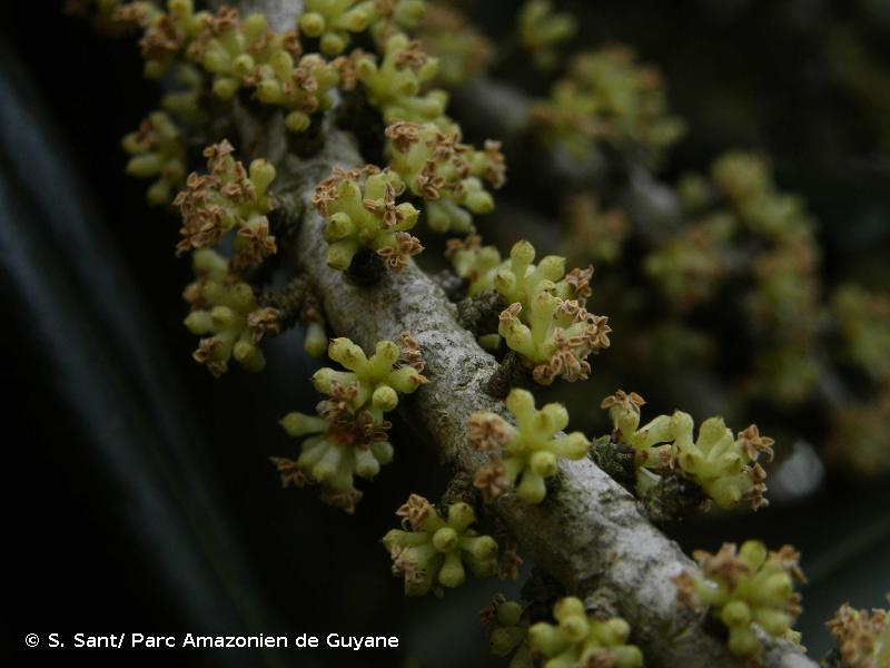 Myrsine guianensis