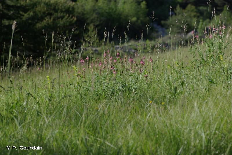 E2.31 - Prairies de fauche montagnardes alpiennes - EUNIS