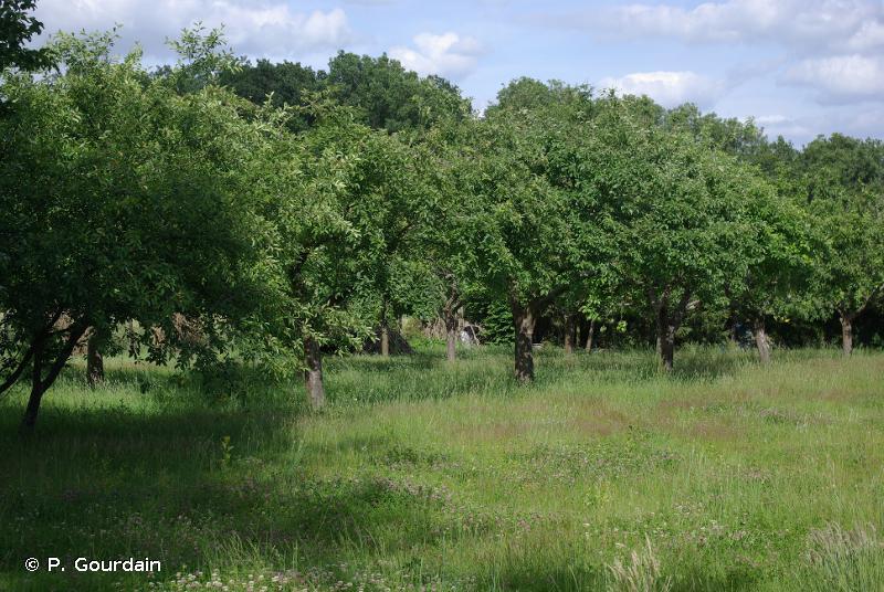 G1.D - Vergers d'arbres fruitiers et d'arbres à noix - EUNIS
