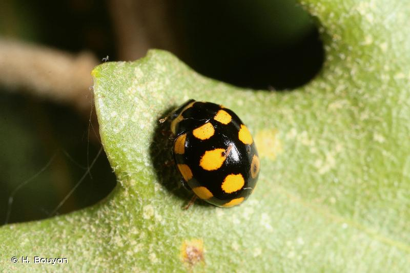 Coccinula quatuordecimpustulata