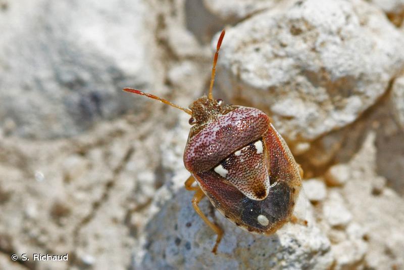 Stagonomus bipunctatus