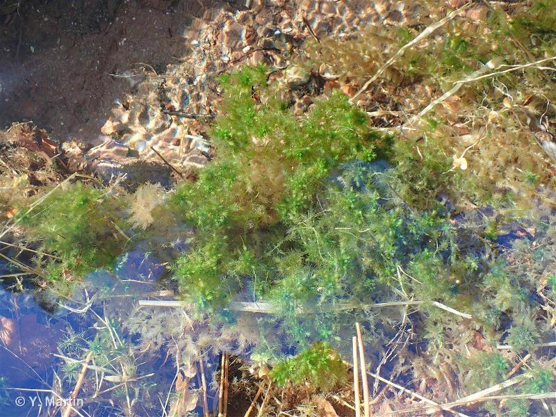 Sphagnum auriculatum