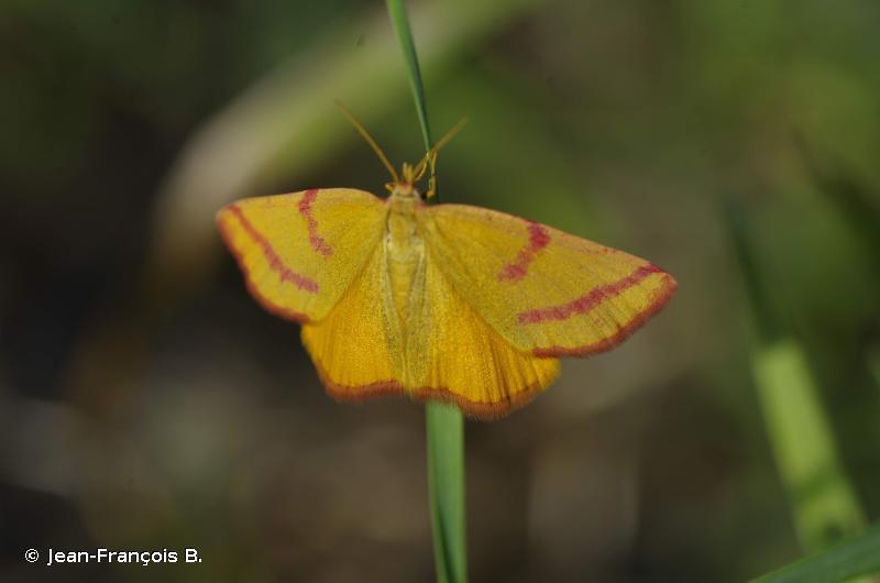 Lythria purpuraria