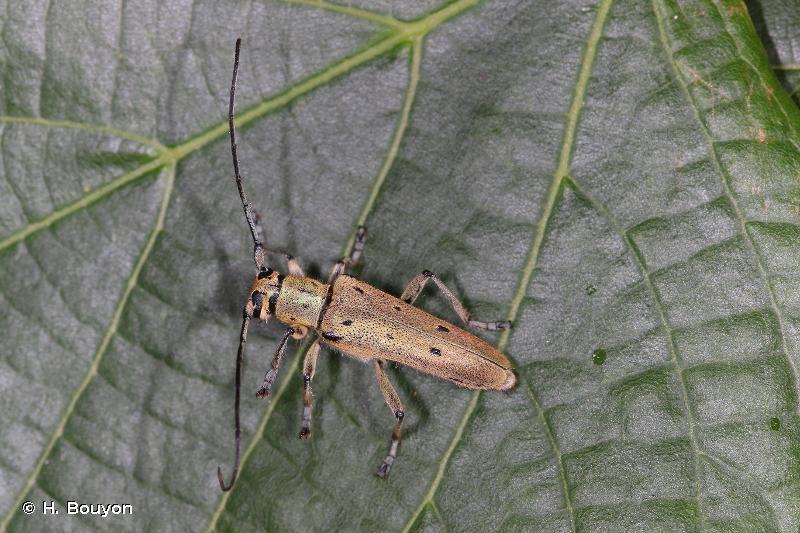 Saperda octopunctata
