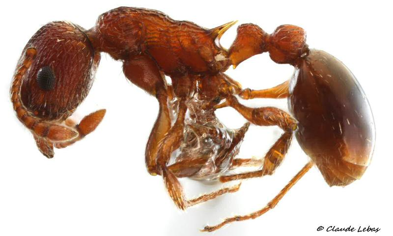 Myrmica scabrinodis