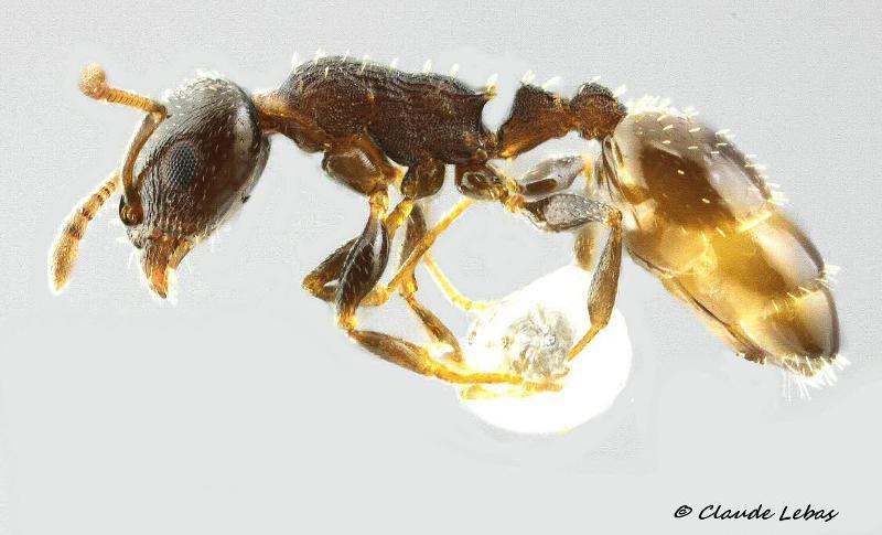 Temnothorax angustulus