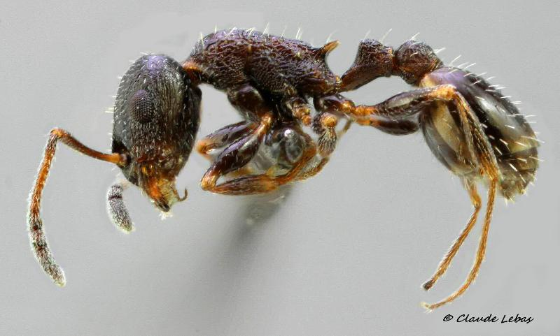 Temnothorax grouvellei