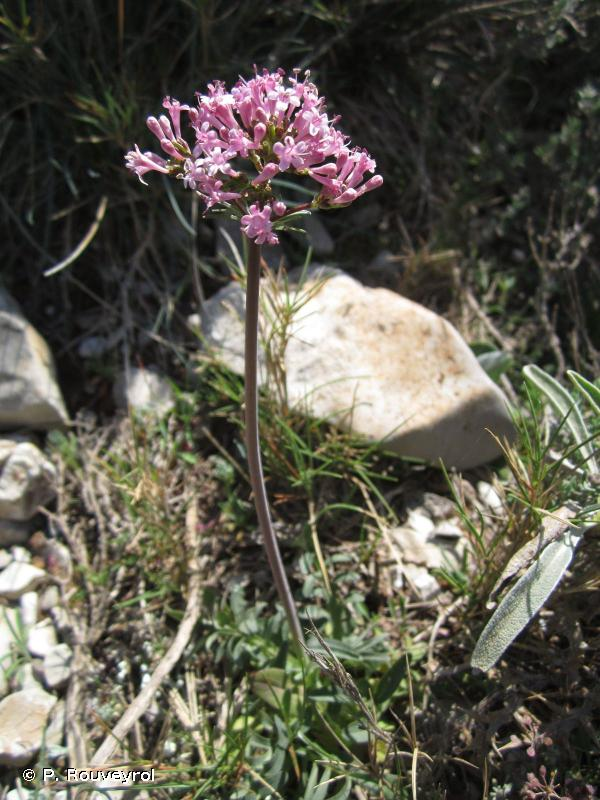 Centranthus calcitrapae