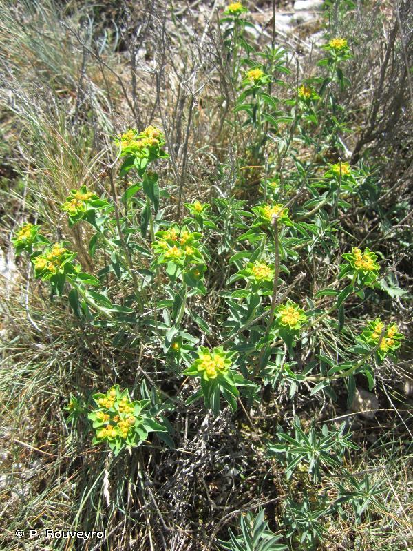 Euphorbia seguieriana