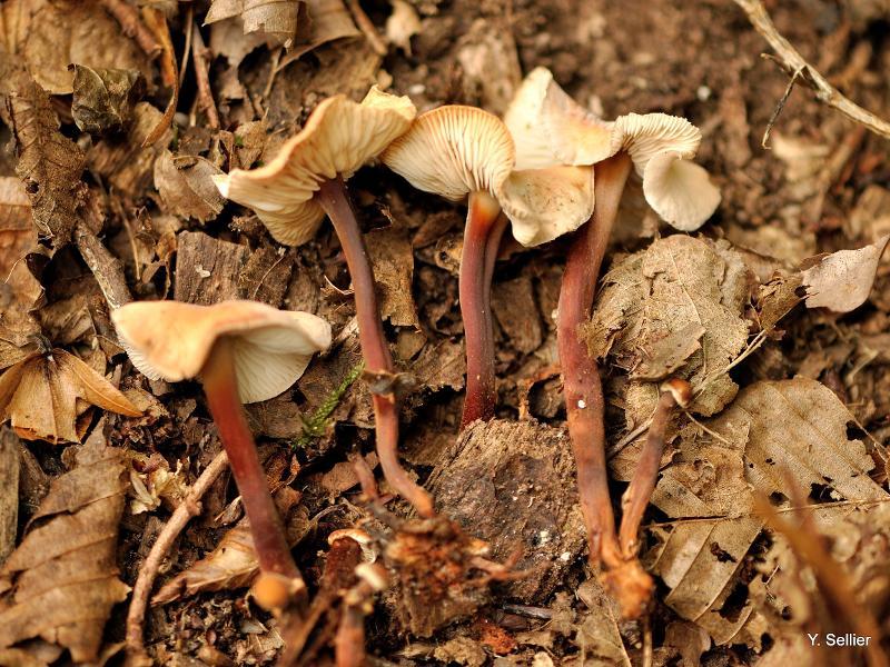 Collybia erythropus