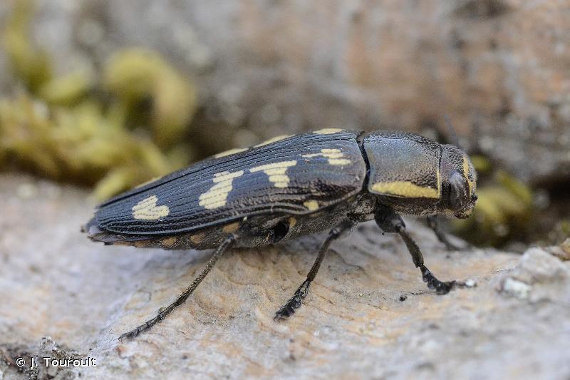 Buprestis novemmaculata