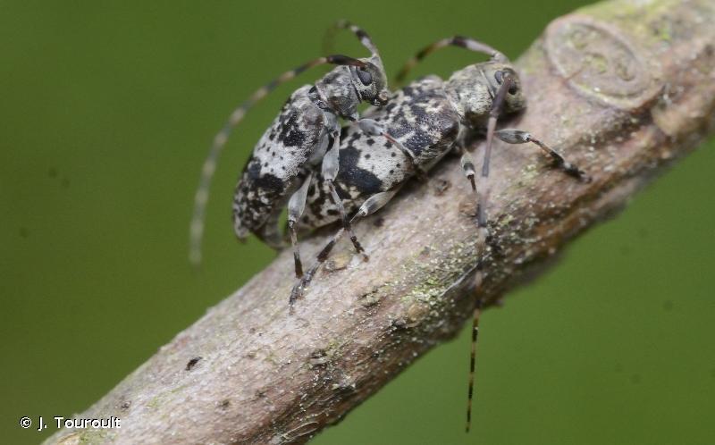 Leiopus nebulosus