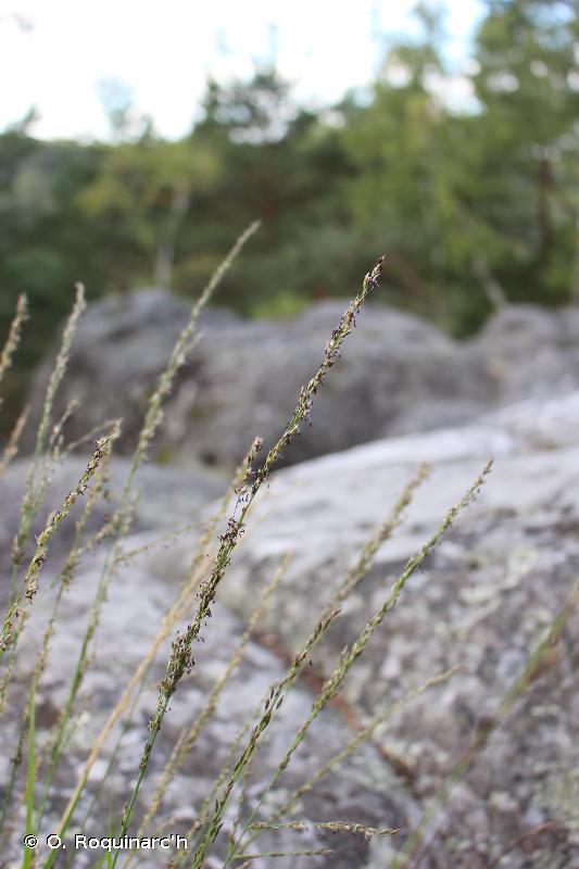 Molinia caerulea
