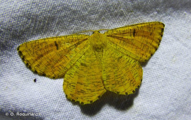 Angerona prunaria