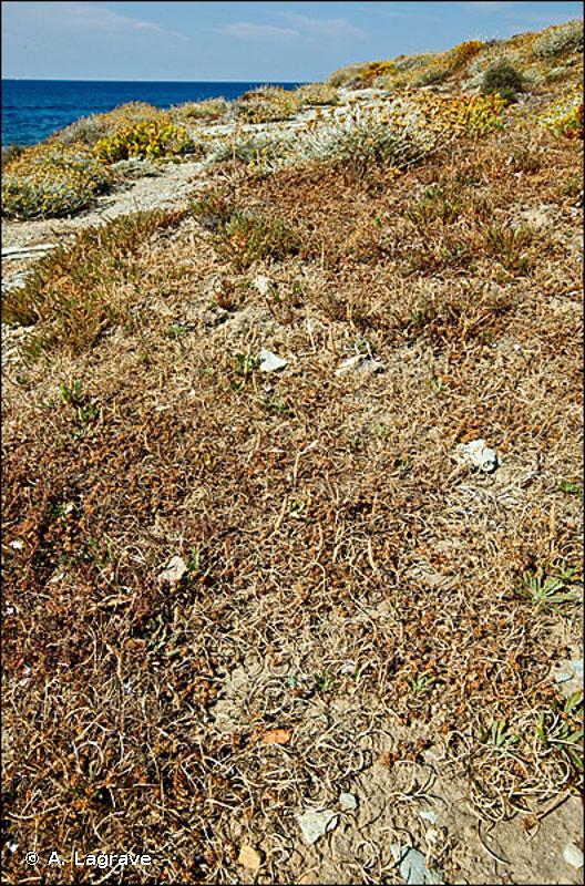 1310-4 - Pelouses rases à petites annuelles subhalophiles - Cahiers d'habitats