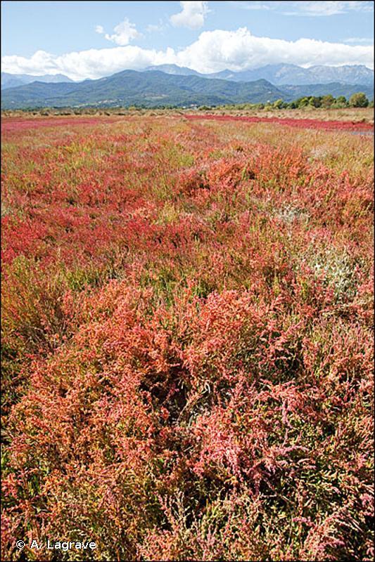 15.614 - Bosquets d'arbrisseaux à Suaeda - CORINE biotopes