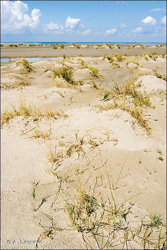16.2112 - Dunes embryonnaires méditerranéennes - CORINE biotopes