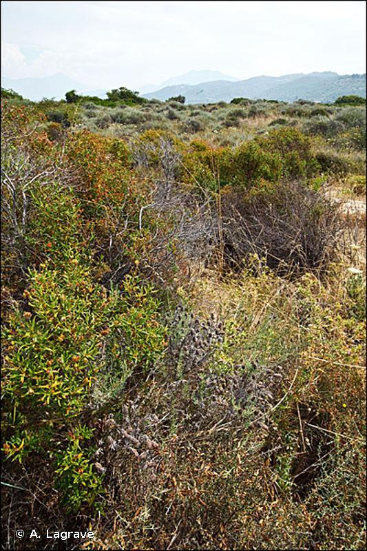 2260-1 - Dunes à végétation sclérophylle des <em>Cisto-Lavanduletalia</em> - Cahiers d'habitats