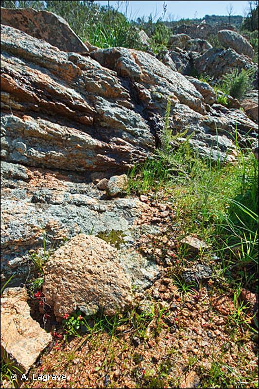 C3.4211 - Communautés terrestres à Isoète - EUNIS